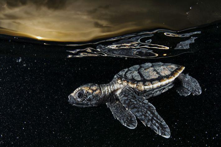 Una cría de tortuga carey en peligro crítico de extinción (Eretmochelys imbricate) se aleja nadando de ...