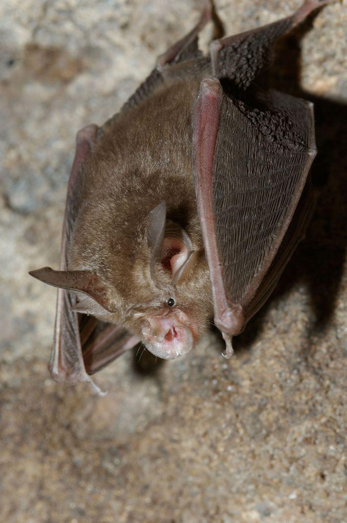 De todos los de su especie, el murciélago de herradura, denominado así por la forma de ...
