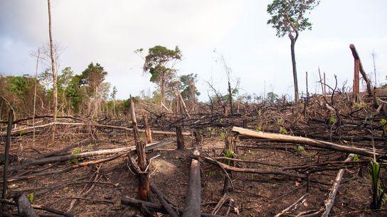 La selva tropical está despejada para la cría de ganado a lo largo de la ruta ...