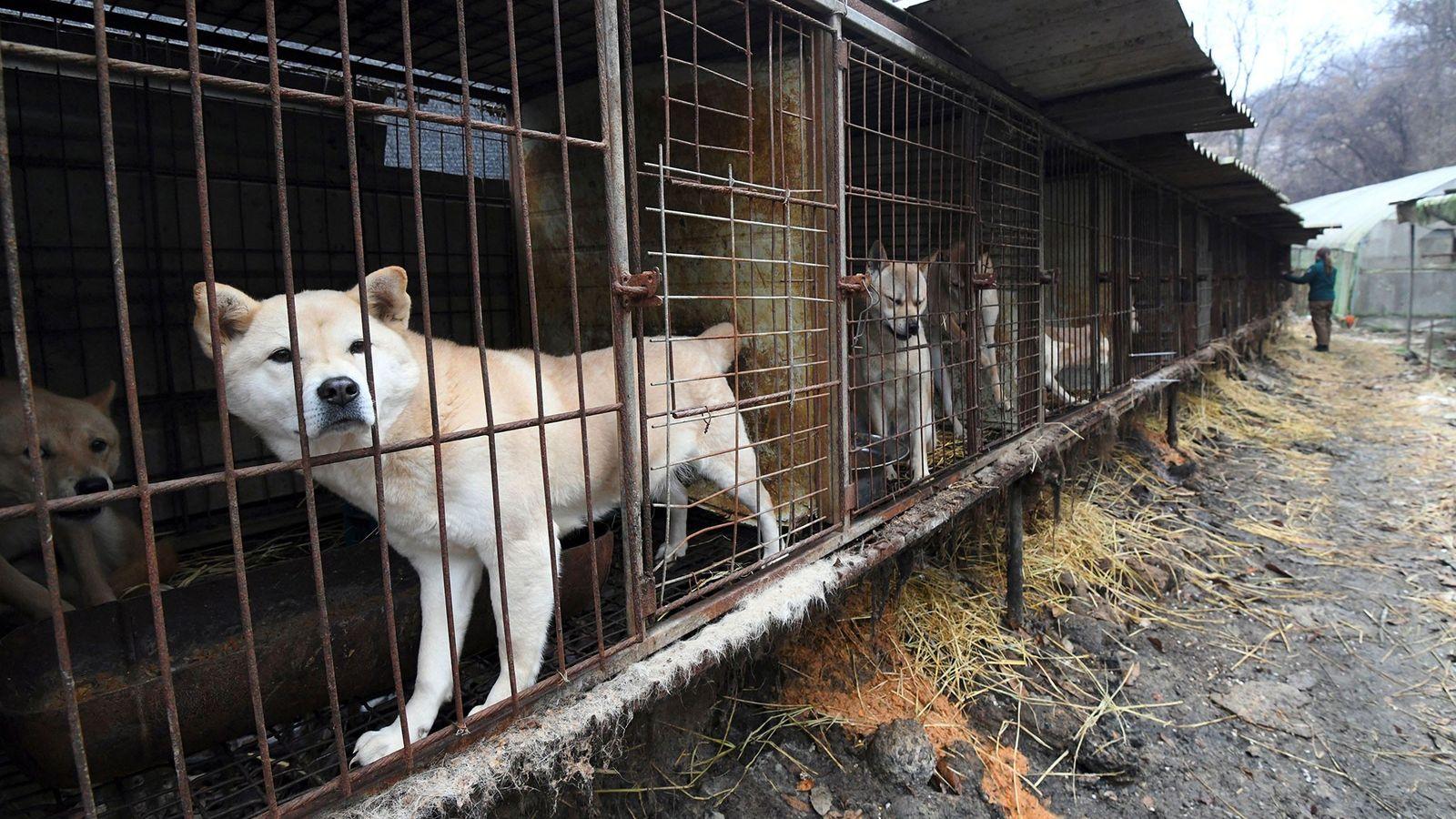 Perros miran desde sus jaulas en una granja para perros durante un evento de rescate en ...