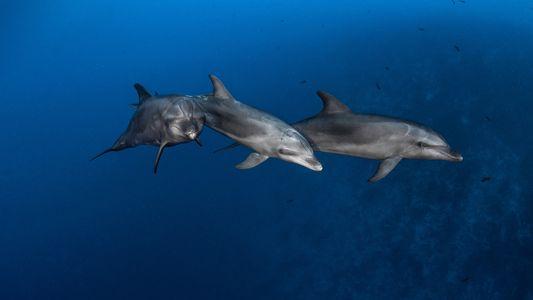 Los delfines aprenden a usar herramientas de sus pares, al igual que los grandes simios