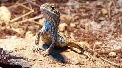 """Identifican una nueva especie de """"dragón"""" que podría haberse extinguido"""