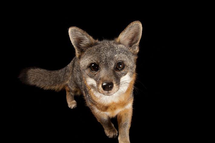 Un raro zorro de la isla Santa Catalina, Urocyon littoralis catalinae, en Catalina Island Conservancy.