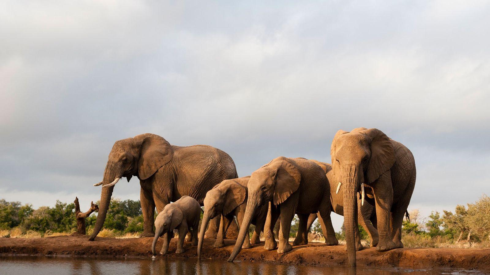 Parece que muchos de los elefantes recientemente asesinados han sido el objetivo de cazadores furtivos cuando ...