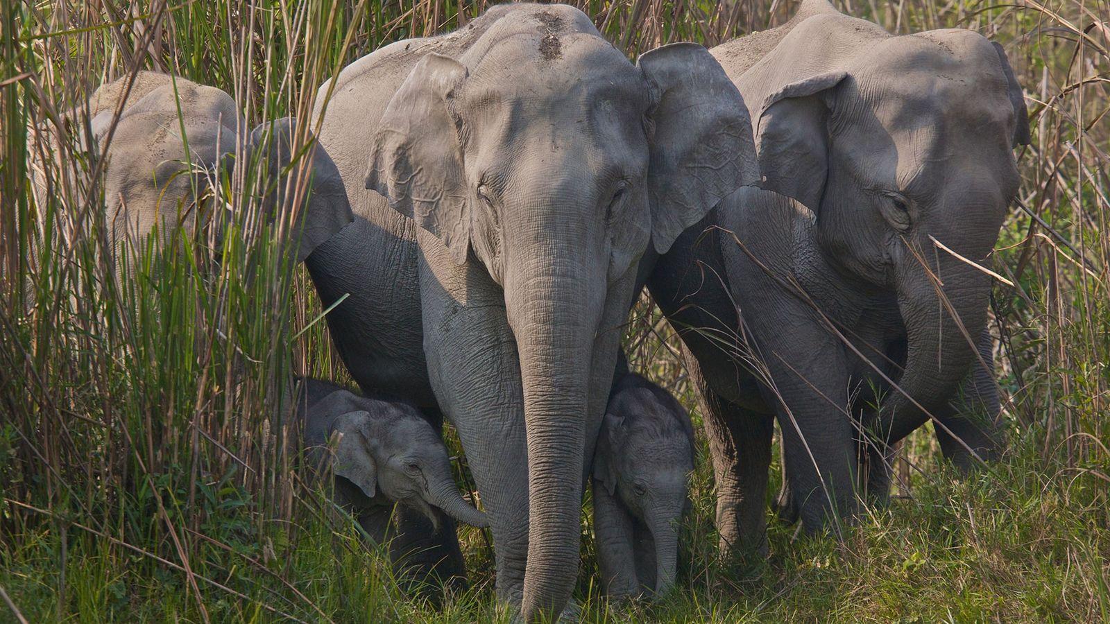 El comercio ilegal de pieles de elefante para cuentas decorativas y polvos medicinales se ha extendido ...