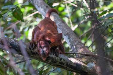 El ruidoso mono aullador rojo (Alouatta seniculus) prefiere frecuentar las áreas vírgenes de los bosques de ...