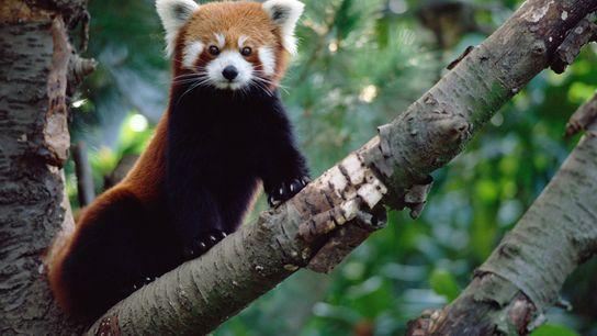 """Los pandas rojos (""""Ailurus fulgens"""") no pueden comercializarse legalmente y, aunque son adorables, tienen garras filosas ..."""