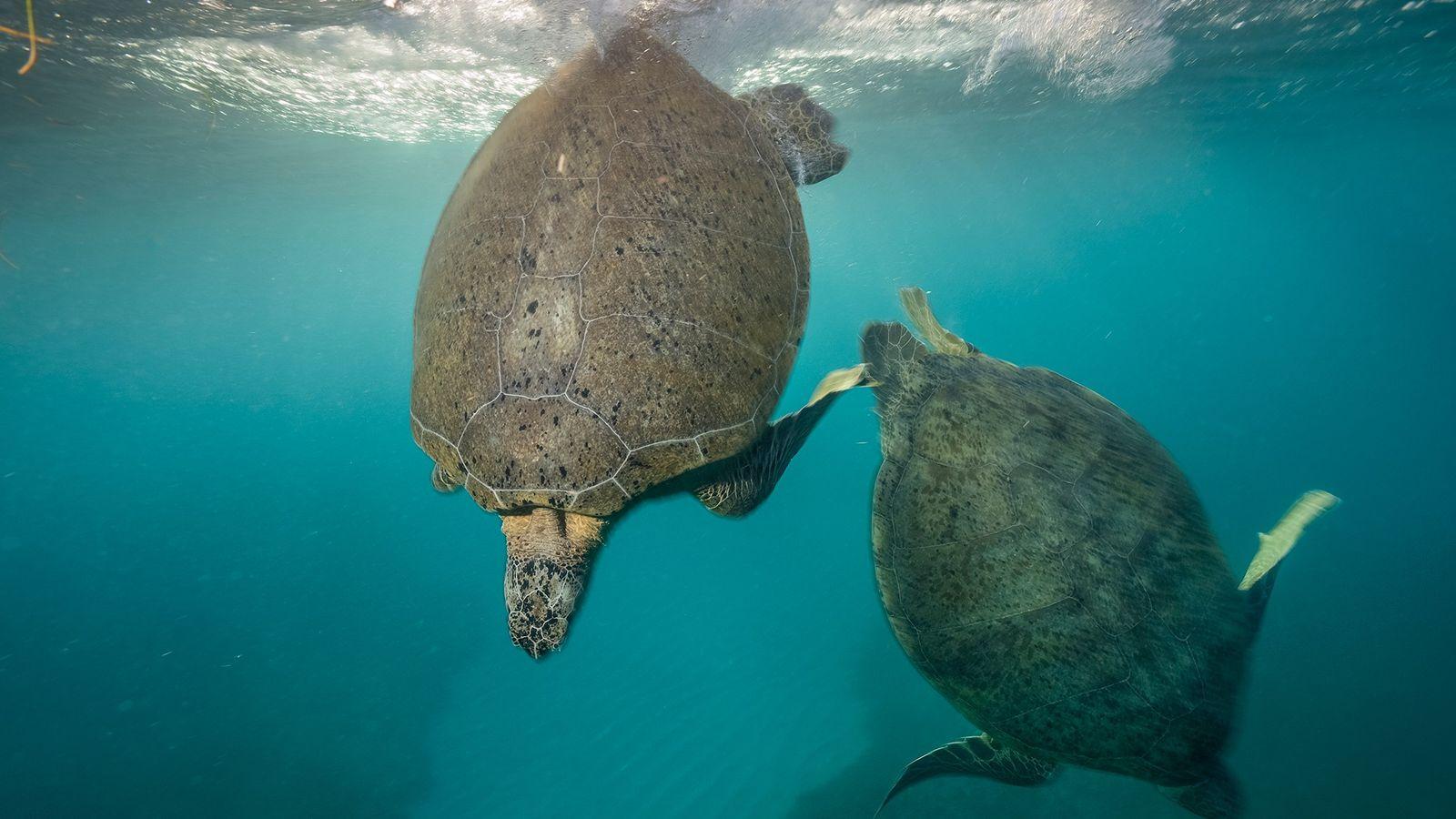 Las tortugas verdes se aparean en las aguas protegidas de la laguna de St. Croix en ...