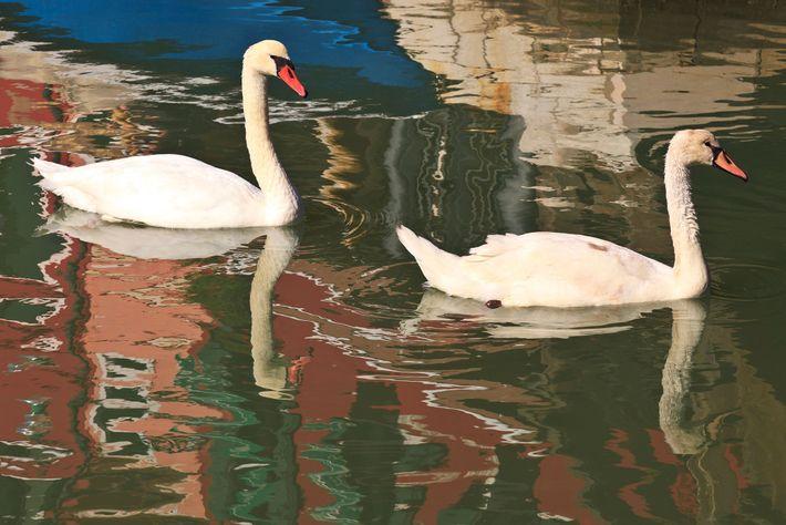Los cisnes son visitantes habituales de los canales de Burano.
