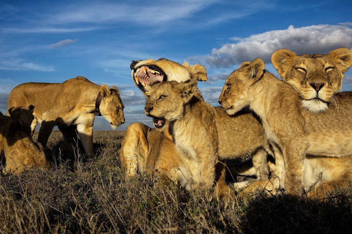 Los leones son los únicos felinos que viven en grupos, dominados por hembras. Los cachorros más ...