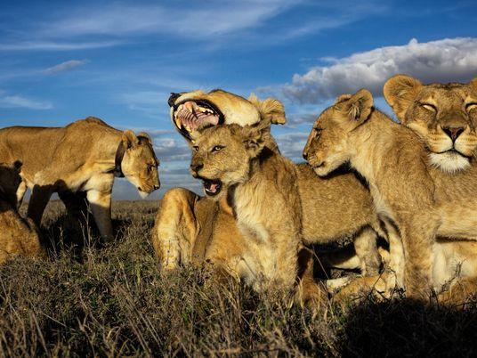 En la vida real, la madre de Simba estaría a cargo de la manada