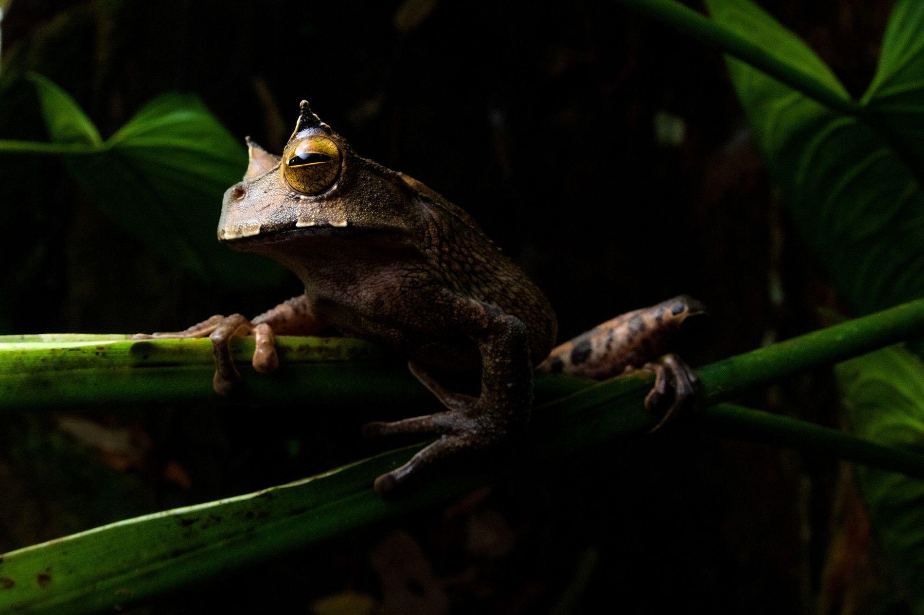 """La rana marsupial cornuda (""""Gastrotheca cornuta"""") es un anfibio nocturno que vive en las copas de ..."""
