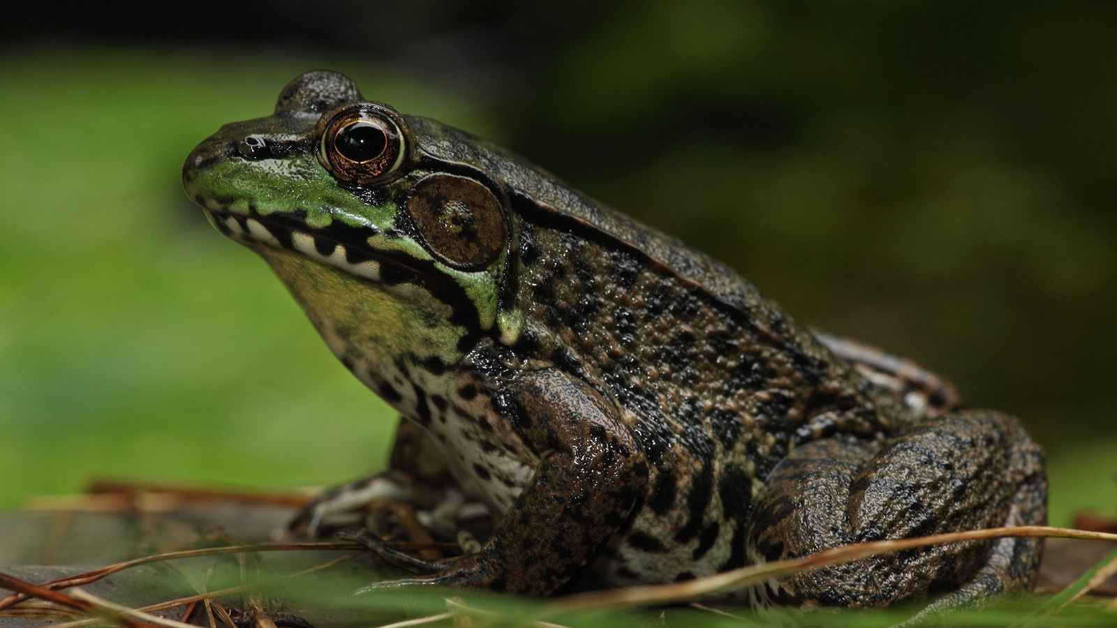 Algunas ranas verdes (Rana clamitans) pueden cambiar su sexo incluso en estanques forestales sin altos niveles ...