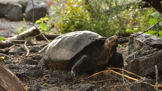 Islas Galápagos: Encuentran una tortuga que se creía extinta hace un siglo