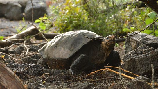 La última vez que se encontró con vida a una tortuga gigante de Fernandina fue en ...
