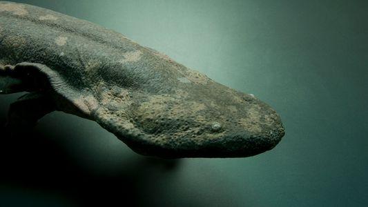Identifican una nueva especie de salamandra como el anfibio más grande del mundo