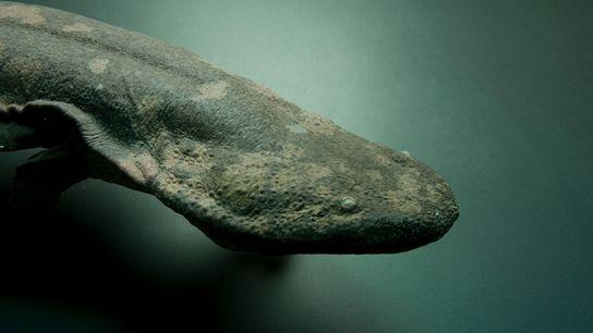 Una salamandra china gigante (Andrias davidianus) en peligro crítico, en el zoológico de Atlanta. Según una ...