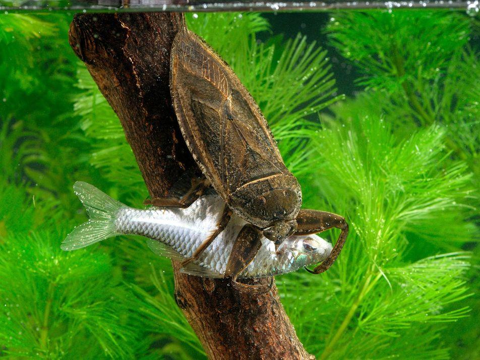 Las chinches acuáticas gigantes devoran tortugas, patitos e incluso serpientes