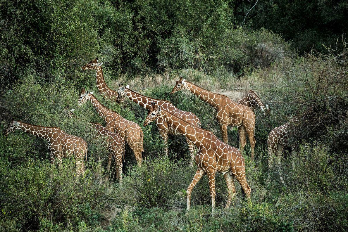 Un grupo de jirafas reticuladas pastando en el Namunyak Consevancy en el norte de Kenia. Hasta ...