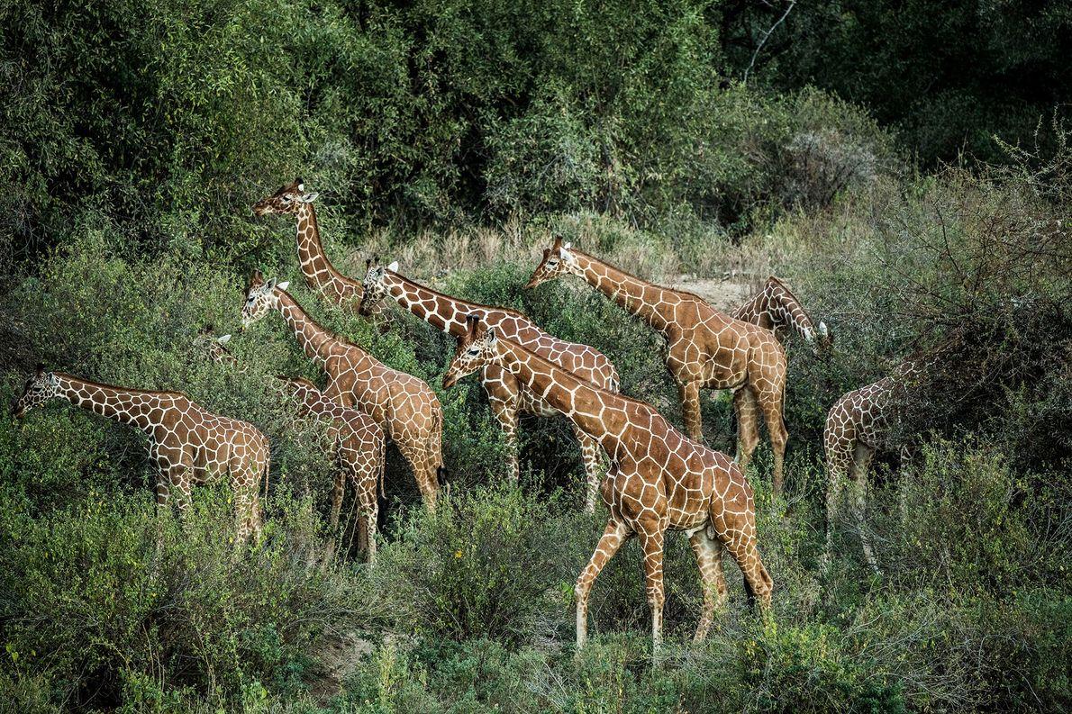 Un grupo de jirafas reticuladas pastando en el Namunyak Consevancy en el norte de Kenia. Hasta …