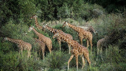 Acciones para salvar al animal más alto del mundo
