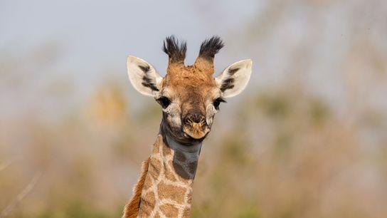 Un equipo de científicos fotografió y analizó las manchas de las jirafas Masai  –como la ...