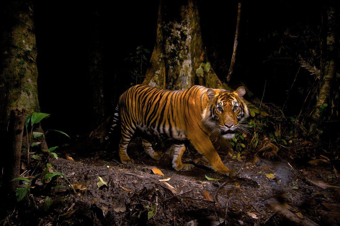 Un tigre mira fijamente hacia una cámara trampa que sacó esta fotografía mientras el tigre cazaba ...
