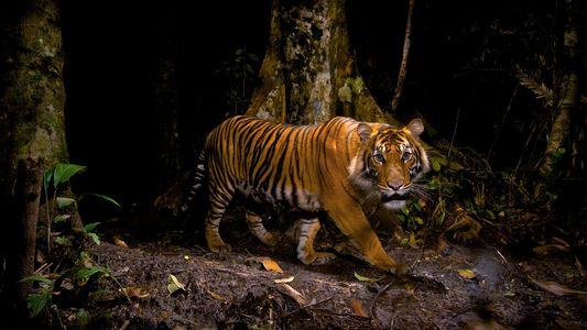 Tigres: fotografías que muestran su poder y belleza