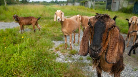 Las cabras son animales inteligentes y sociales. Un nuevo estudio muestra que las cabras pueden diferenciar ...