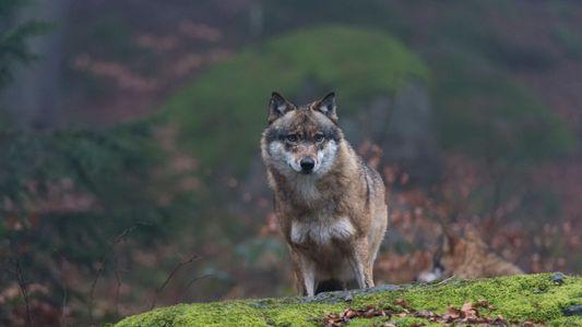 ¿Podrían estar extendiendo sus mutaciones los lobos de Chernóbil?