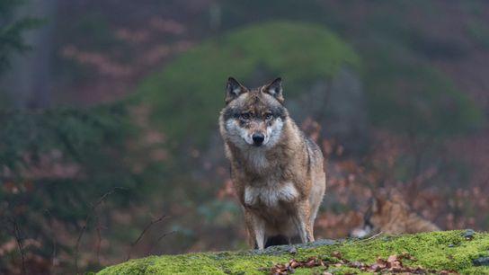 No está claro cuántos lobos de Chernóbil se han visto afectados por la radiación. Pero sus ...