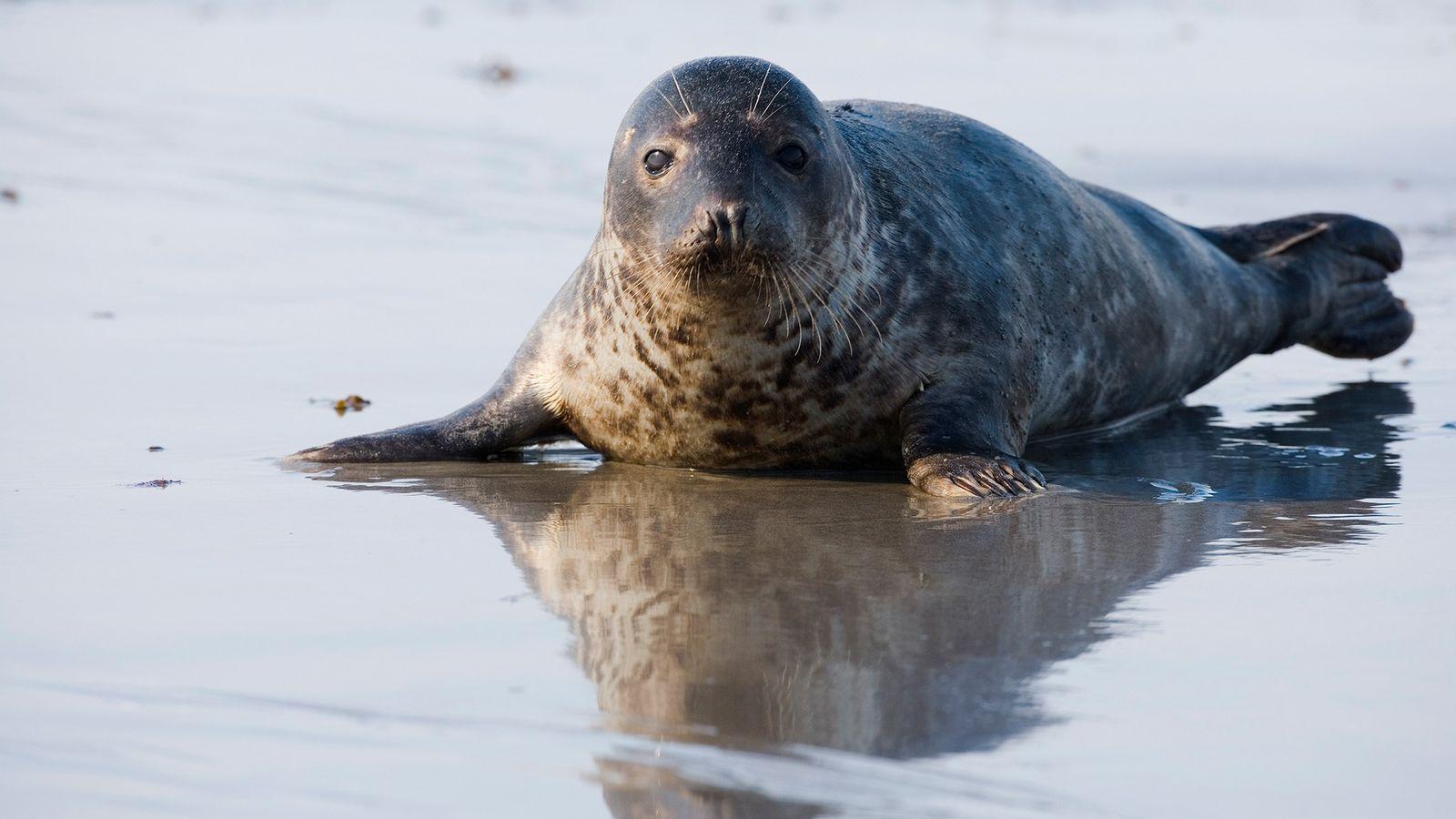 """Recientemente se ha visto a una foca gris (""""Halichoerus grypus"""") atacando y comiéndose a un miembro ..."""