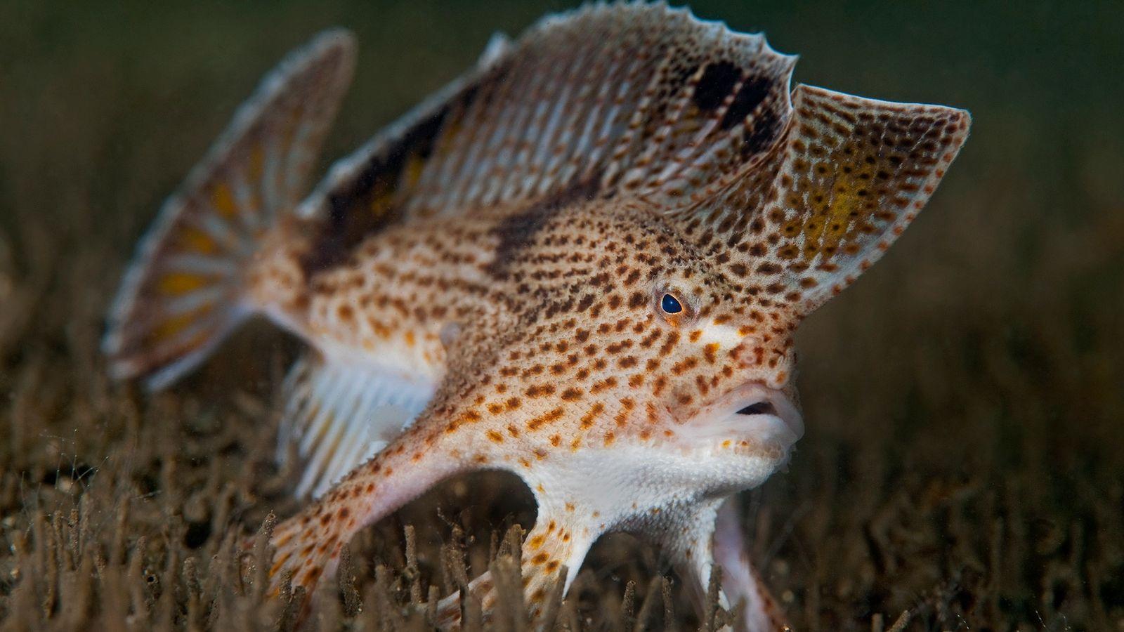 El pez mano moteado en peligro crítico habita en el estuario del río Derwent cerca de ...