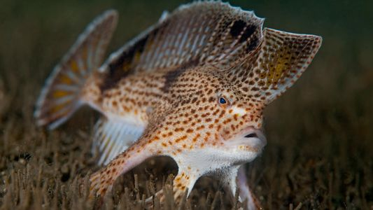 """Se extinguió un pez que podía """"caminar"""". ¿Se salvarán sus parientes?"""