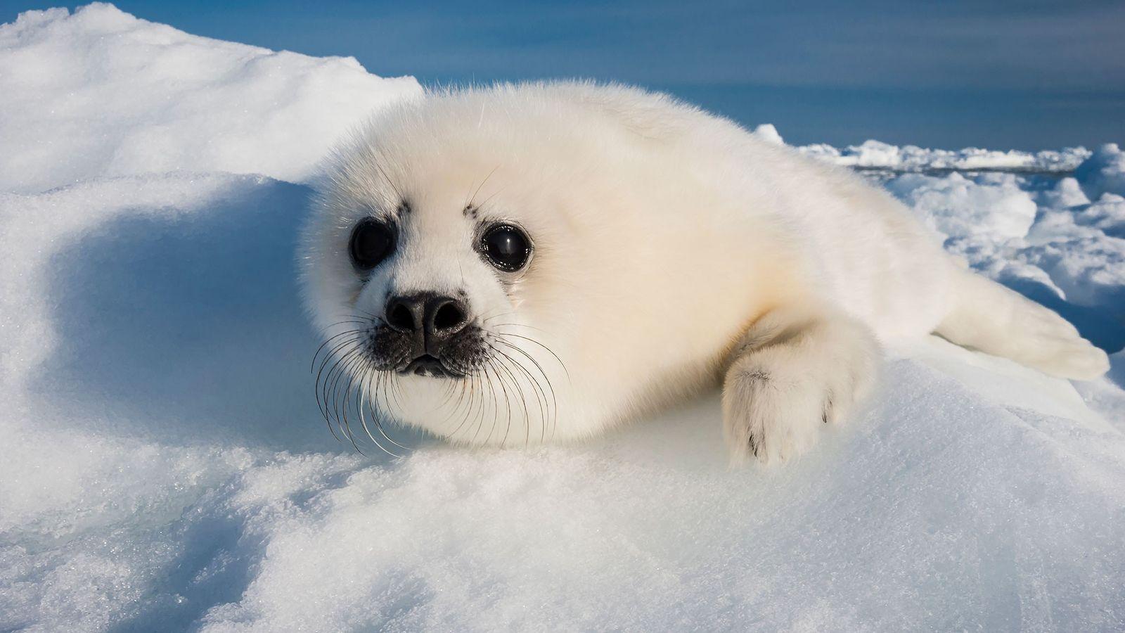 Un cachorro de foca pía descansa en un bloque de hielo considerablemente reducido en el Golfo ...
