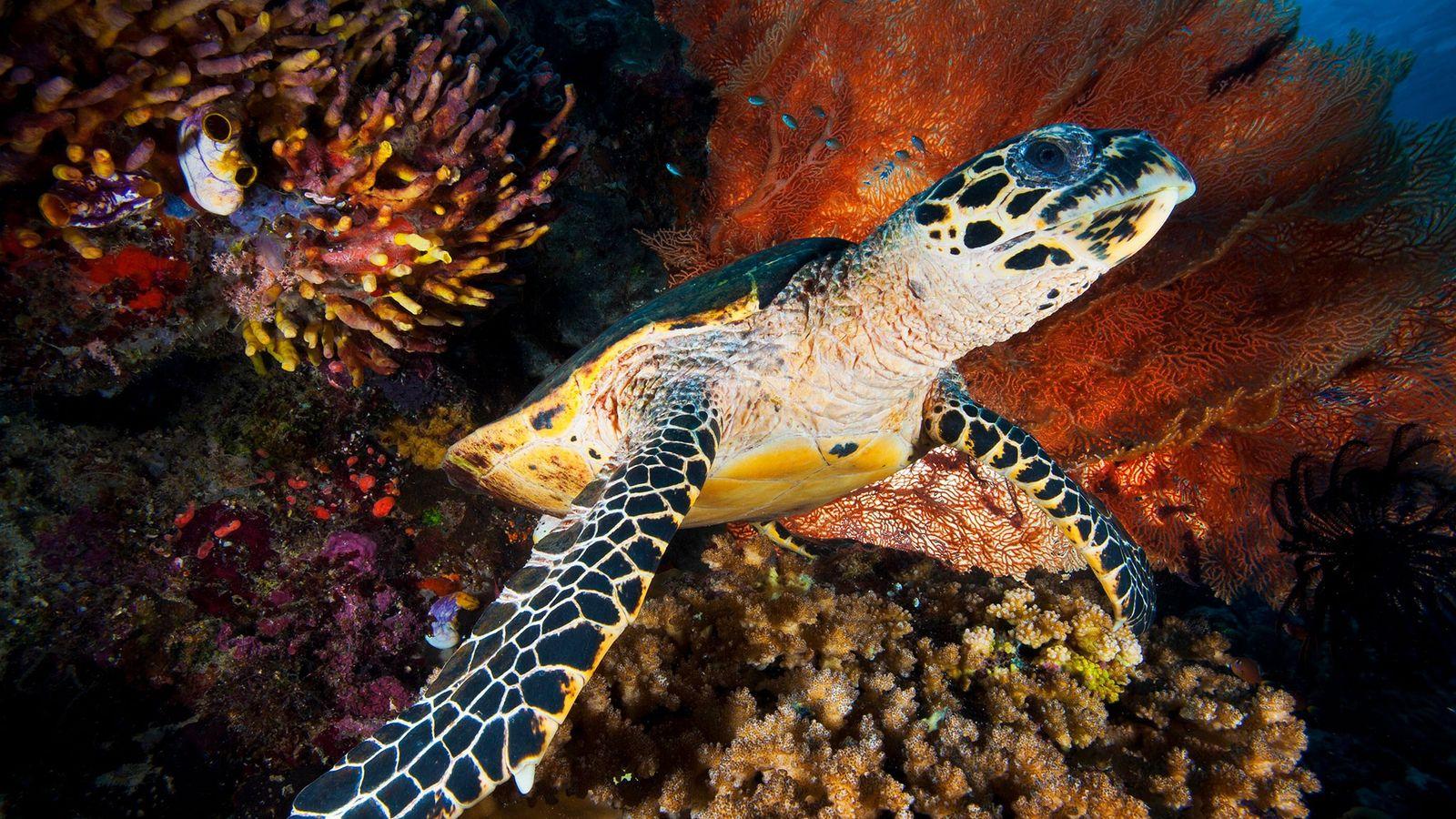 Si bien está prohibido el comercio internacional de la tortuga carey-una especie en peligro de extinción-, ...