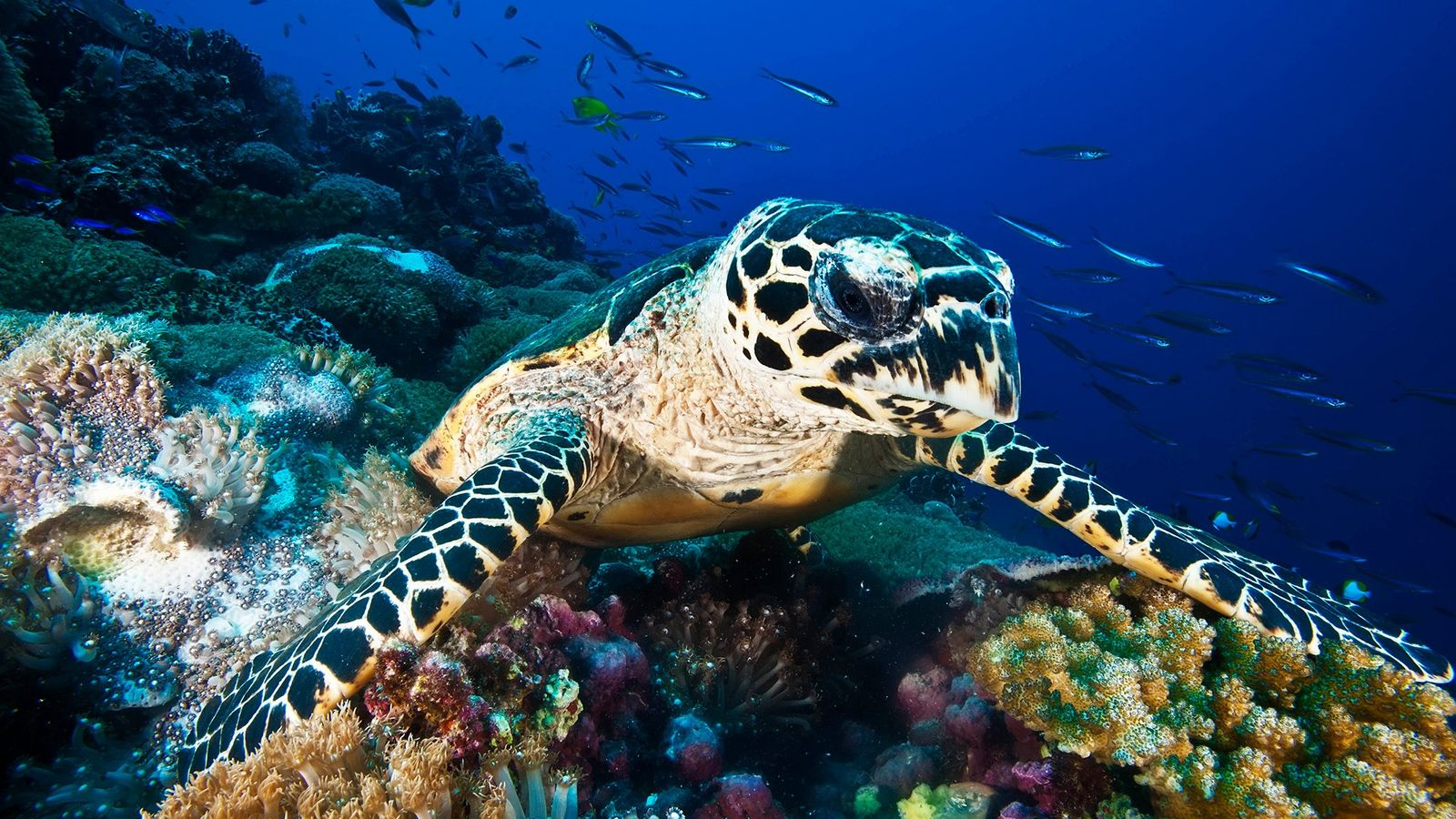 Un nuevo estudio examina la escala del comercio de caparazones de tortuga de carey en peligro ...