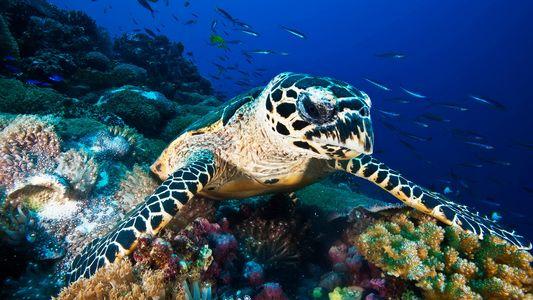 El comercio de caparazones de tortugas carey es mucho más grande de lo que se creía