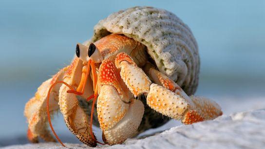 Como algunos de sus parientes, los cangrejos ermitaños terrestres (Coenobita perlatus) en las islas Seychelles gastan ...