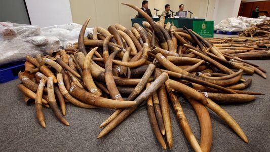 Buenas noticias para los elefantes: Cerrará un importante mercado de marfil