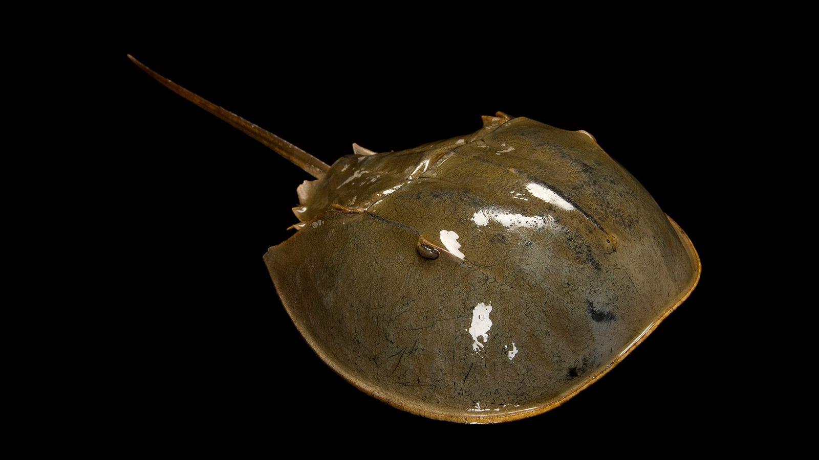 Un cangrejo herradura fotografiado en la Money Island, New Jersey. Existen cuatro especies vivas de estas ...