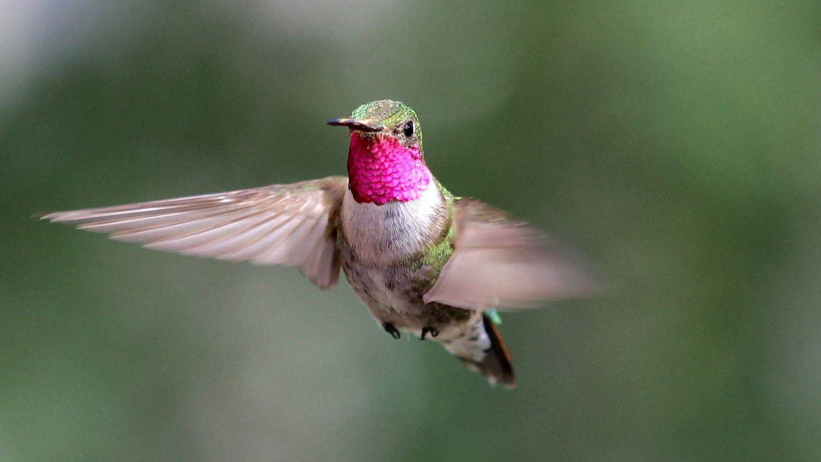 Este colibrí coliancho macho participa de un estudio (en Colorado) sobre cómo perciben el color estas ...