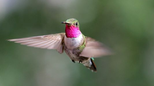 Los colibríes ven colores que los humanos no pueden percibir