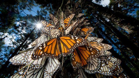 Mariposas monarca pasan el invierno en las Sierras Chincua en México y, como muchos otros insectos, ...