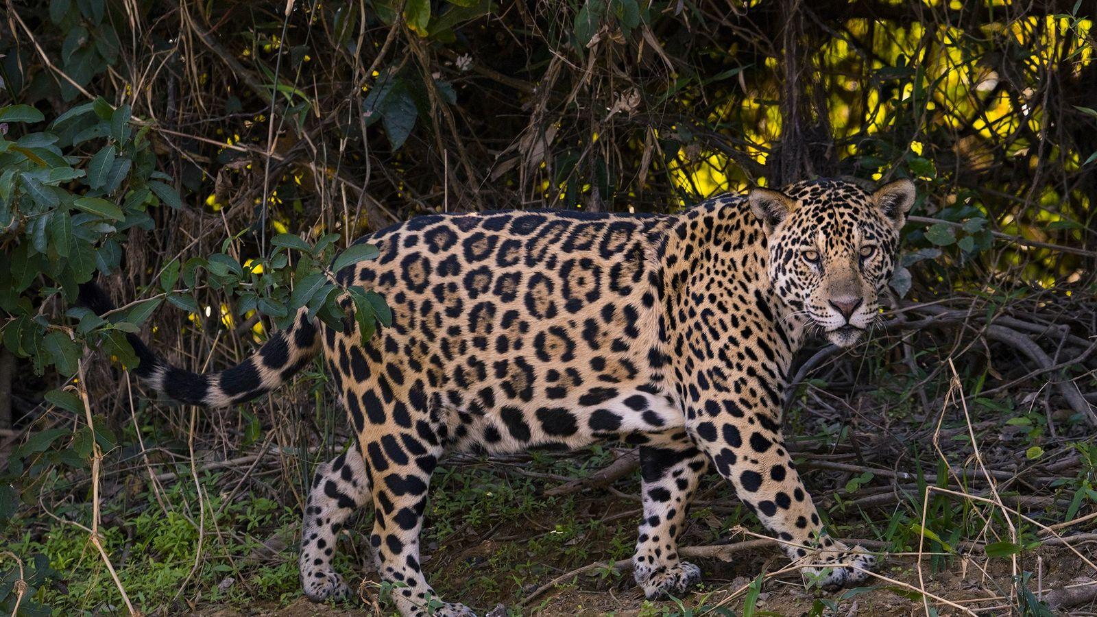 Un jaguar merodea en la orilla del Pantanal, en Mato Grosso del Sur, estado de Brasil. ...