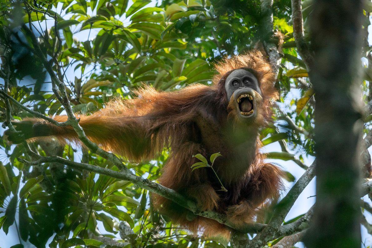 Un orangután de Tapanuli, en Sumatra, es el gran simio más raro del mundo. Los orangutanes ...