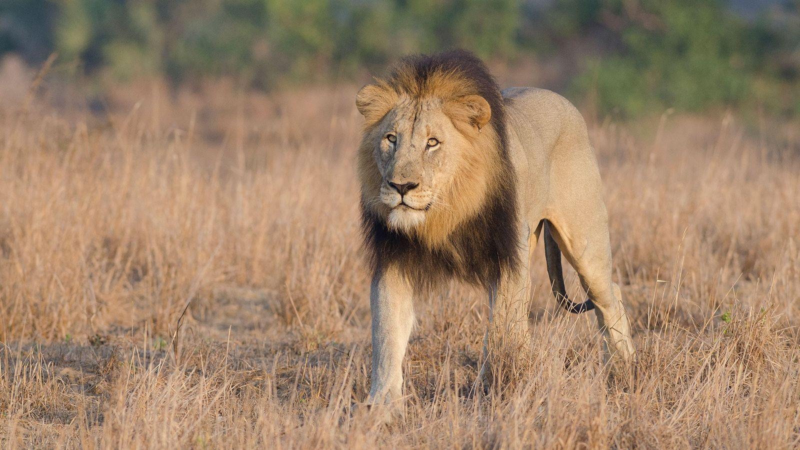 Este león fue fotografiado en una reserva de caza en Sudáfrica. Esta semana, otra reserva fue ...