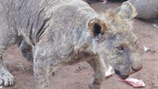 Hallaron a más de 100 leones descuidados en un criadero de Sudáfrica