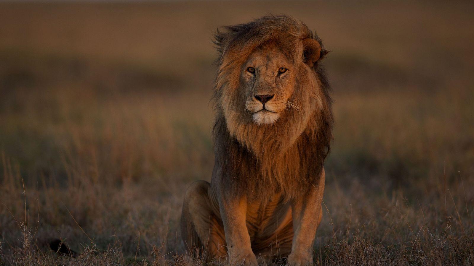 Un león macho adulto descansa en el Serengeti. La pérdida de especies de presa, la pérdida ...