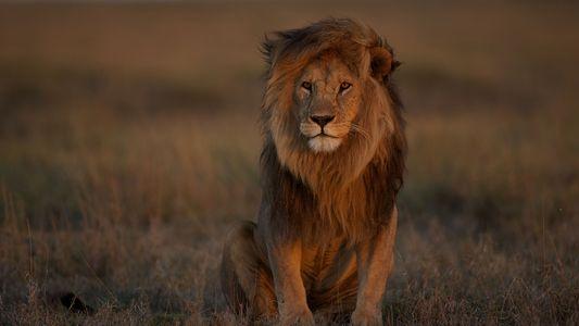 Los leones están desapareciendo en áreas que históricamente lideraron